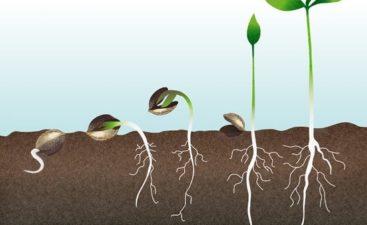 germinar semilla